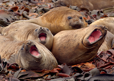 Young elephant seals sing up a chorus on Macquarie Island (Roderick Eime)