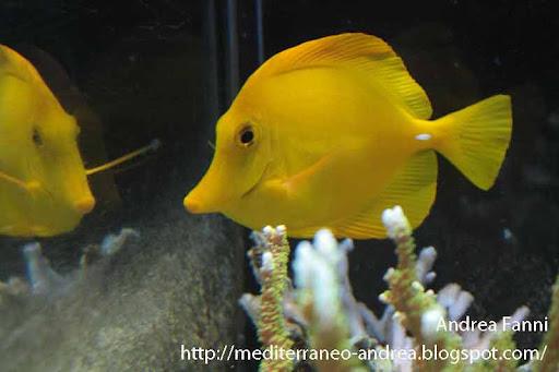 Zebrasoma flavescens in acquario marino di barriera