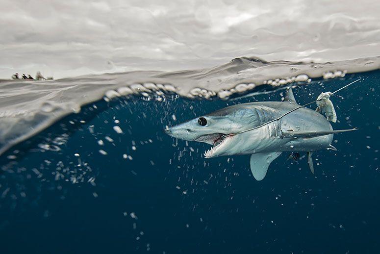 Image result for sharks extinction