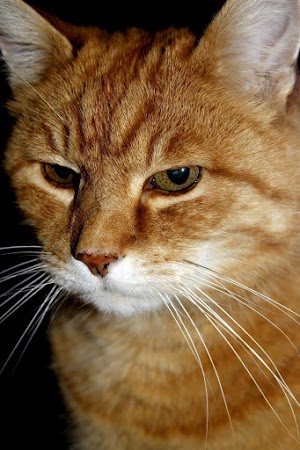 Does buprenorphine make cats high
