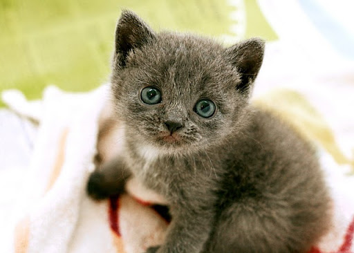 cute rescued gray kitten Mina