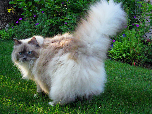 cute rescued fluffy himalayan cat