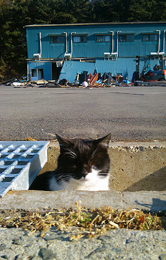cute tuxedo cat after japan earthquake tsunami tashirojima island