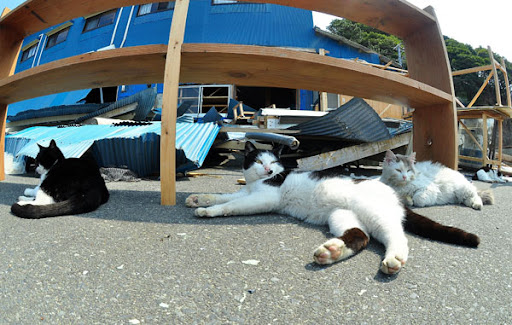 cats lounge around cat island tashirojima after earthquake