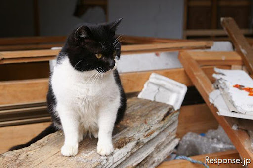 cute tuxedo cat in house debris after japanese earthquake tashirojima island