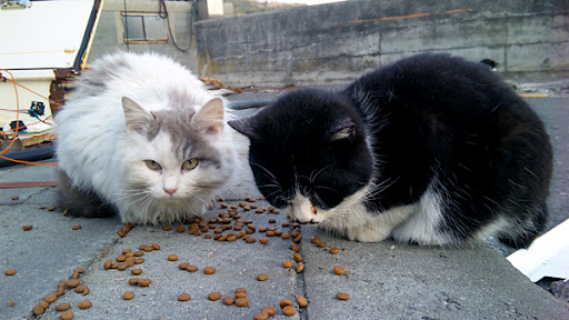 cute cats eat food after japanese tsunami earthquake tashirojima island