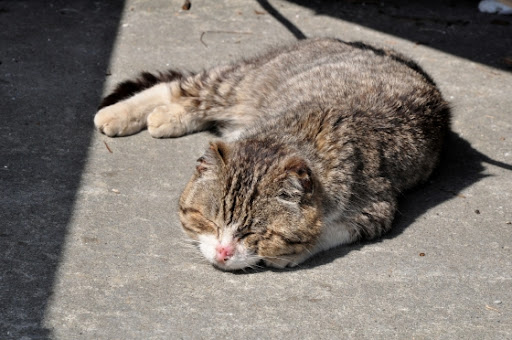 cute cat napping island tashirojima after earthquake