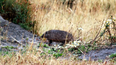 Patagonia armadillo in Torres del Paine in Chile