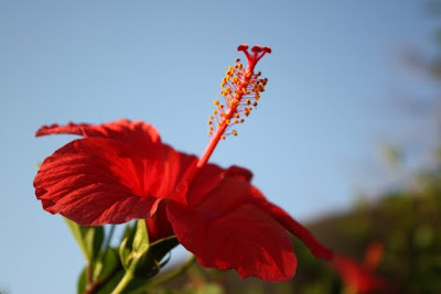 Hibiscus flower at the Movenpick resort on the Dead Sea in Jordan