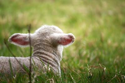 英格兰萨里皮斯莱克附近的春天羔羊