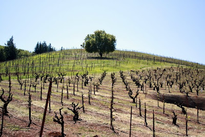 Vines at Bella Vineyards in the Dry Creek Valley in Sonoma California