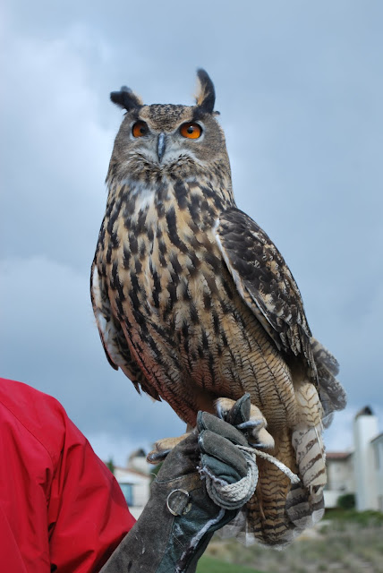This is a photo of the Eagle Owl at Terranea Resort. It is the largest owl in the world.
