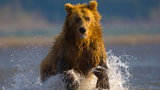 Alaskan Brown Bear, Hallo Bay, Alaska.jpg