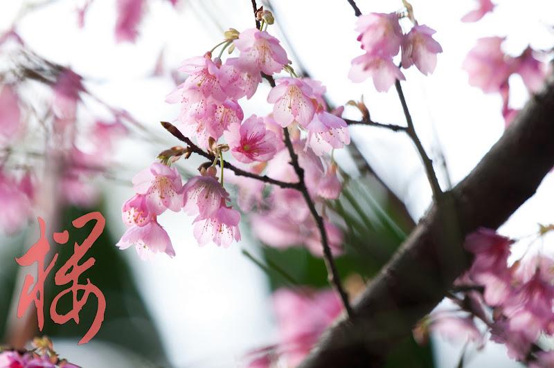 在桐花公園裡的櫻花