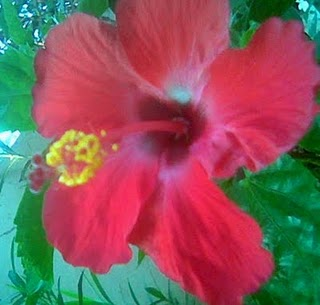Health Tips: Hibiscus Flowers for Hair Care