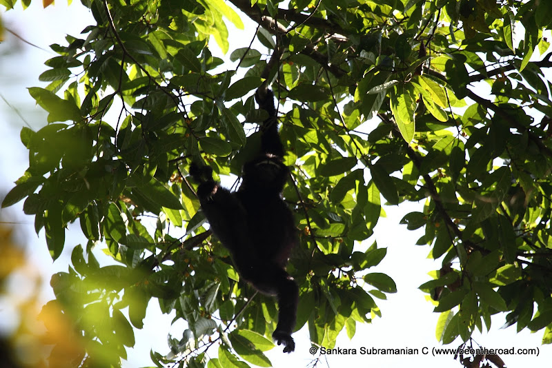 Hanging Hoolock Gibbon