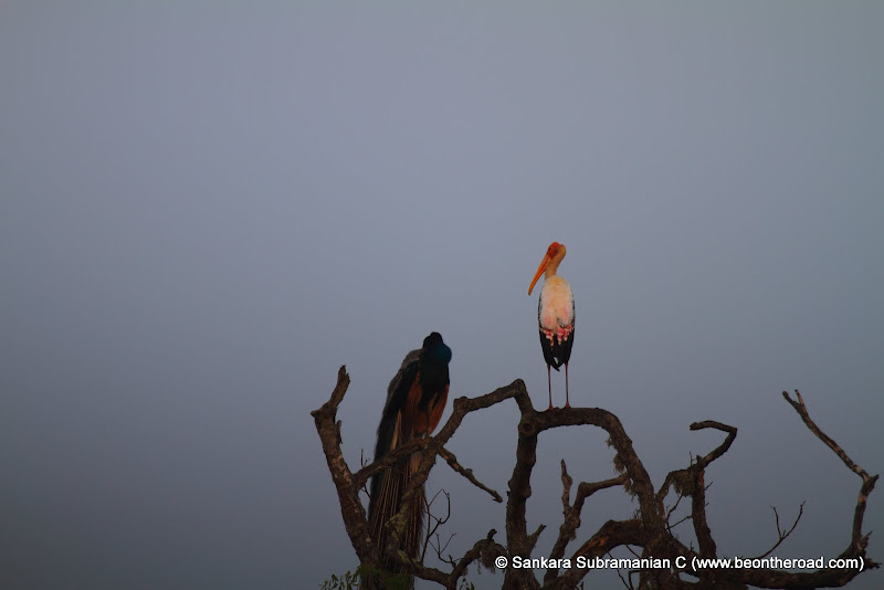 Painted Stork and Peacock during dawn at Yala National Park