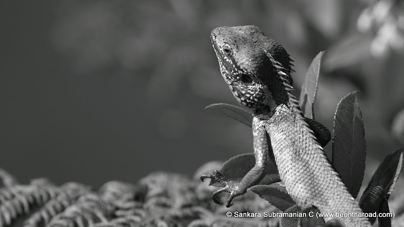 Green Chameleon in monochrome