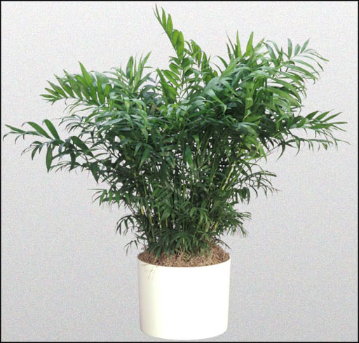Indoor Palm Plants http://office-turn.com/indoor-palm-trees-shopping-guides-1