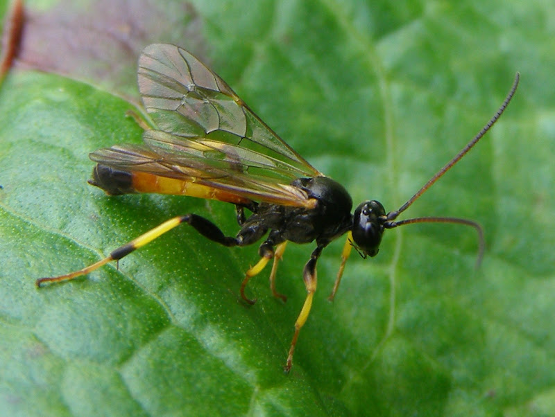 Ichneumon Wasp - Life and Opinions - Life and Opinions Black Ichneumon Wasp
