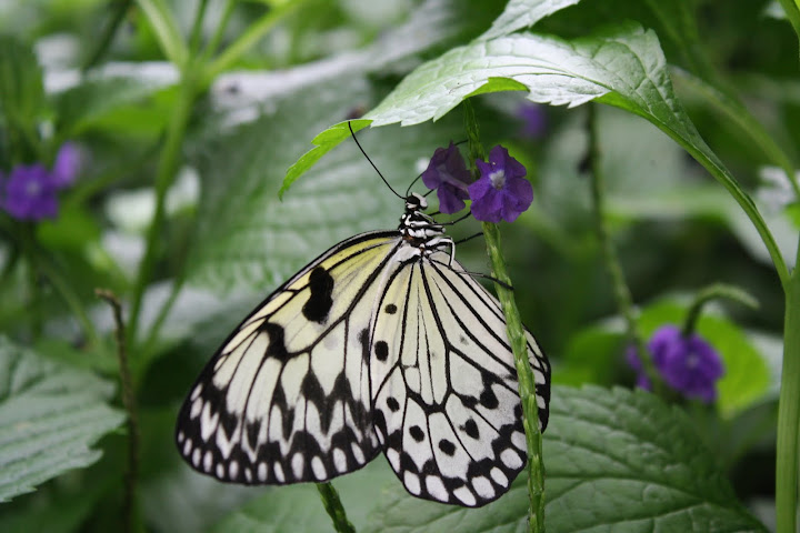 A specimen from the Niagara Butterfly Conservatory