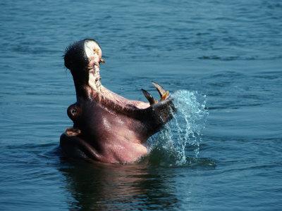 Гиппопотам на купании