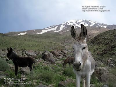 Damavand Donkey