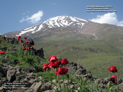 Damavand Poppy Field