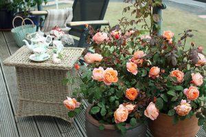розы в горшках на балконе