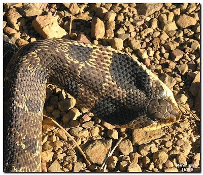 Eastern Hognose Snake (Heterondon platirhinos)