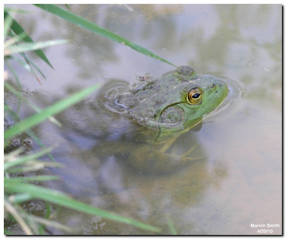 ABC Wednesday:  Frog (American Bullfrog - Lithobates catesbeianus)