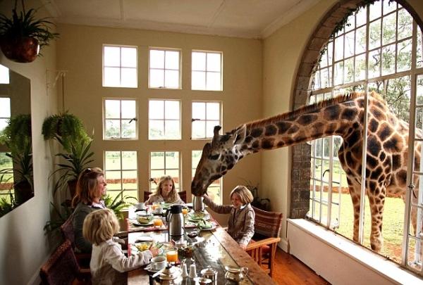 Café da manhã para girafas