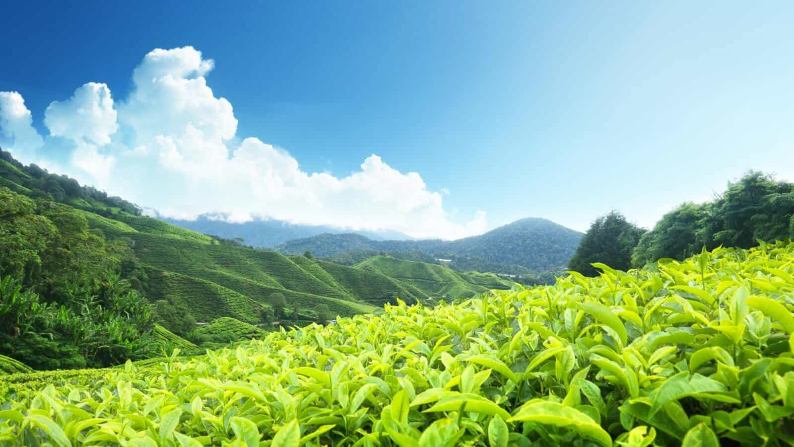 Tea estates are one of Wayanad best places to visit