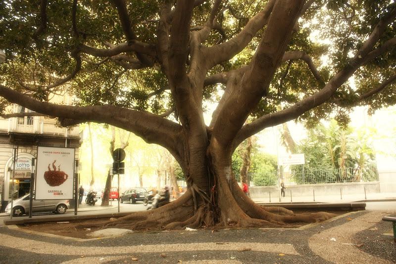 Ficus gigant, partea 1, Catania