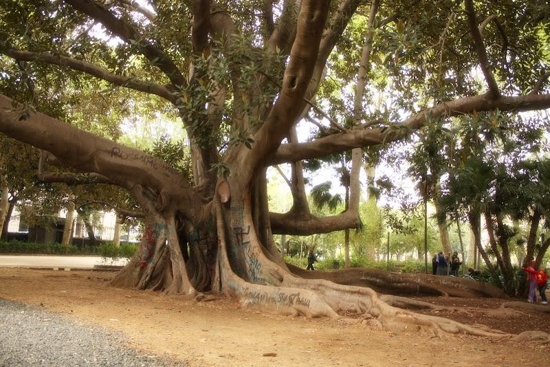 Ficusi gigant, partea 2, Catania