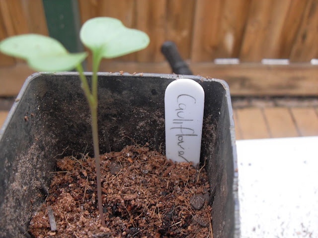 A cauliflower seedling growing in a coffee grounds mix