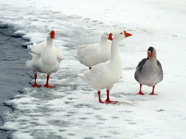 domestic white geese greet a Canadian Goose