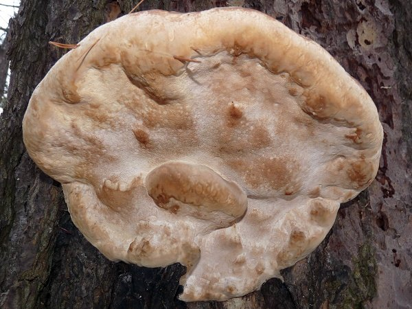hemlock varnish shelf mushroom - pore surface