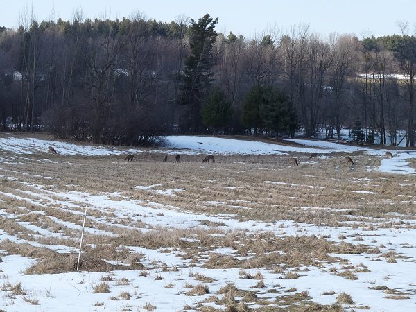 deer in the hayfield