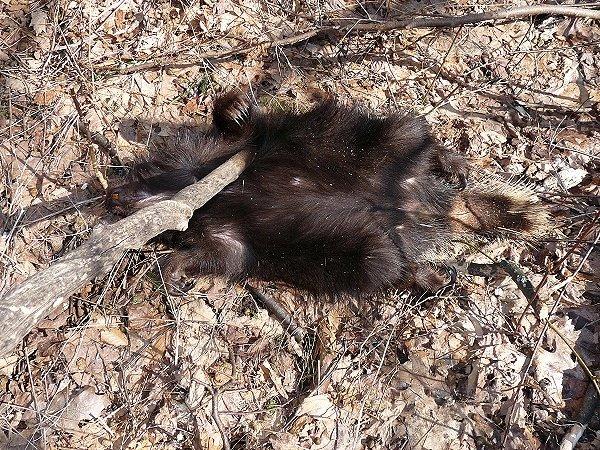 dead porcupine