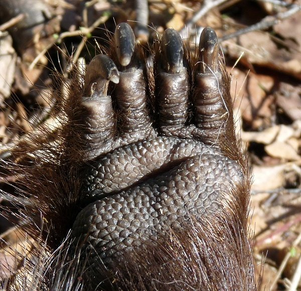 dead porcupine paw and claws