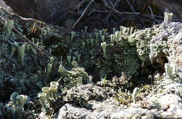 Lichen landscape - pixie cups
