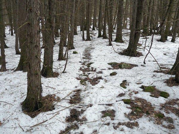 deer trail in cedar woods