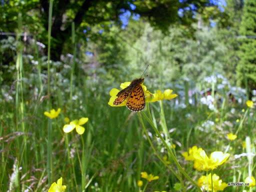 Blomsterprakt och brunfläckig pärlemorfjäril Boloria selene