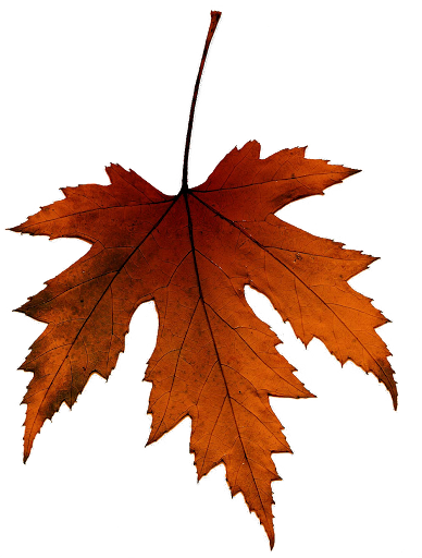 Hoja seca de gran árbol