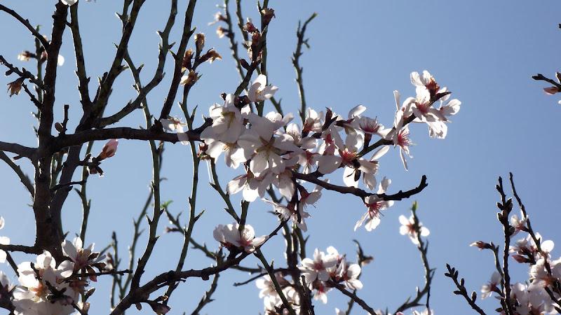 Ramas de almendro en flor