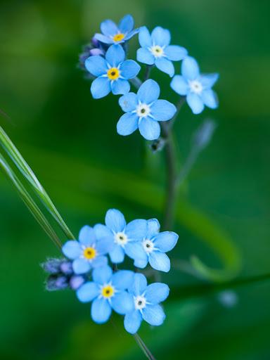 macros de fleurs de printemps P1060834
