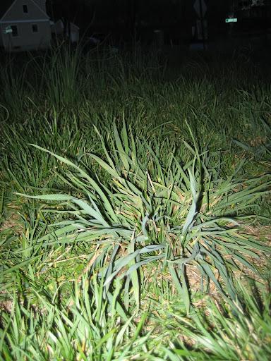Weed ID: POA, K31? - aroundtheyard.com Forums