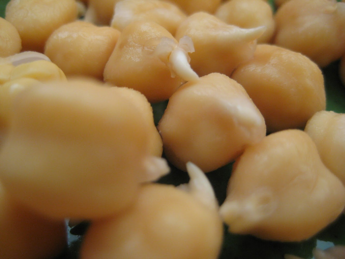 How to sprout garbanzo beans (Chickpeas)