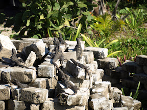 An iguana-gathering
